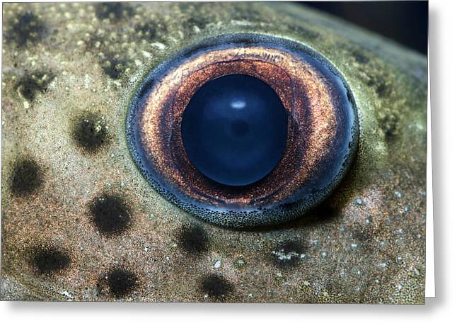 Leopard Sailfin Pleco Eye Abstract Greeting Card by Nigel Downer