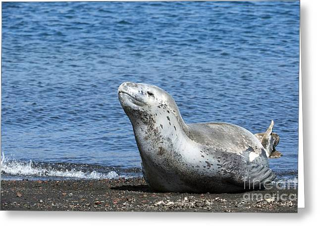 Deception Beach Greeting Cards - Leopard Seal On A Beach Greeting Card by Dr P. Marazzi