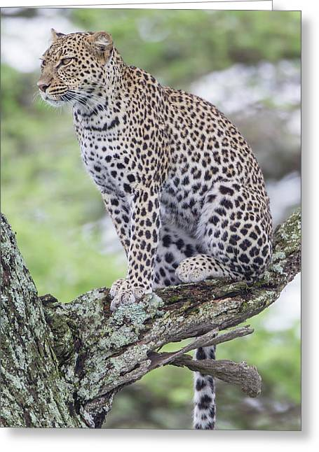 Leopard Sitting Up In Tree On Three Greeting Card by James Heupel