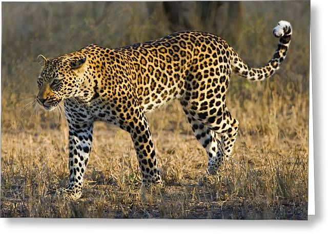 Leopard Hunting Greeting Cards - Leopard -The Elusive One Greeting Card by Basie Van Zyl
