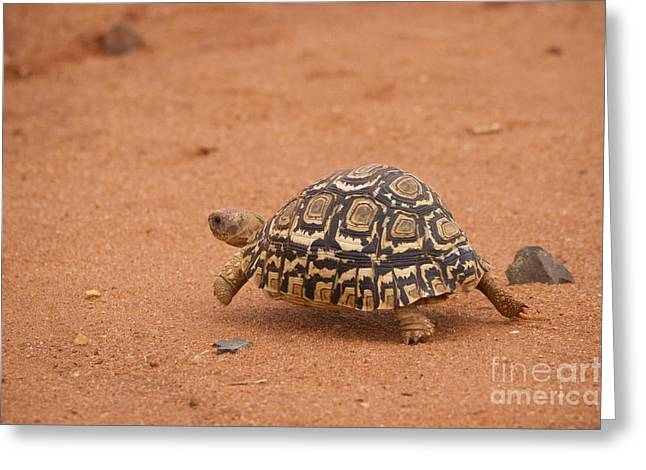 Leopard Running Greeting Cards - Leopard Tortoise running Greeting Card by Howard Kennedy