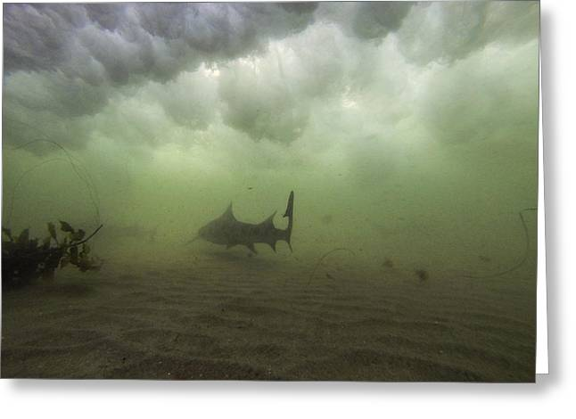 Leopard Shark Greeting Cards - Leopard Under a Wave Greeting Card by Shane Brown