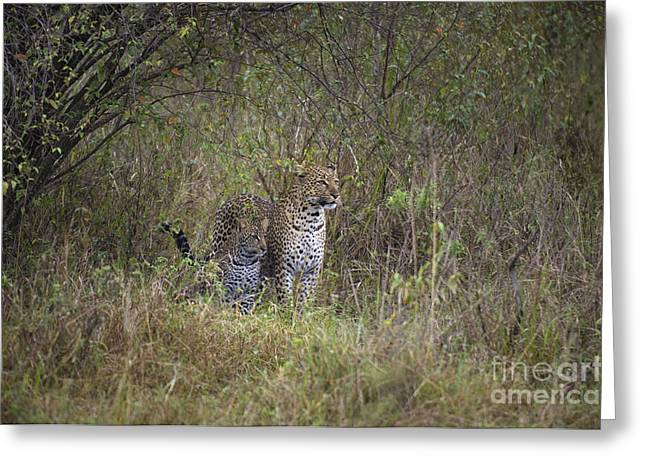 Mother And Young Greeting Cards - Leopard With Cub Greeting Card by John Shaw