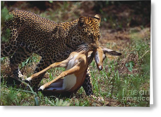 Hooved Mammal Greeting Cards - Leopard With Prey Greeting Card by Art Wolfe