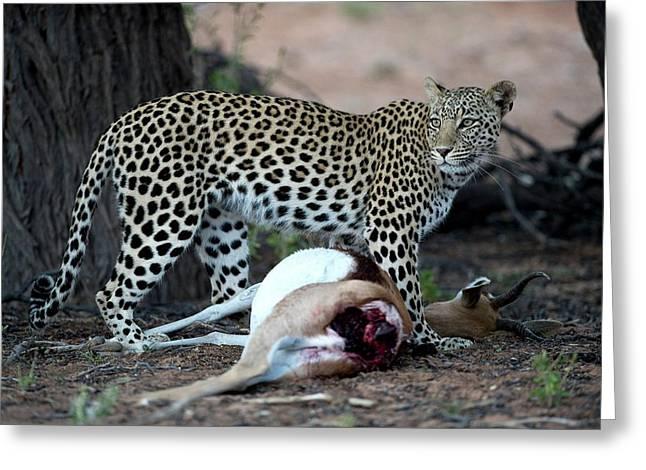 Leopard With Springbok Prey Greeting Card by Tony Camacho