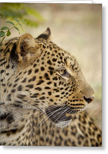 Zimbabwe Greeting Cards - Leopard Zimbabwe Greeting Card by Michael Durham