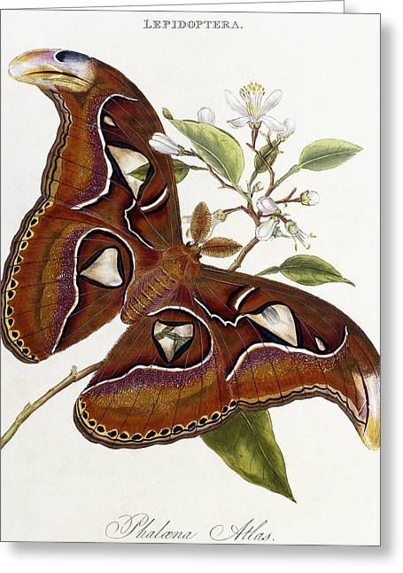 Wildlife Art Posters Greeting Cards - Lepidoptera Greeting Card by Edward Donovan