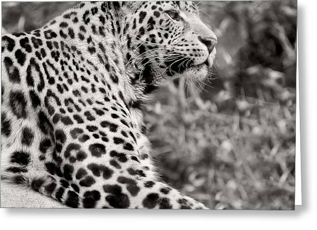 Black Leopard Greeting Cards - Lepoard Greeting Card by HD Connelly