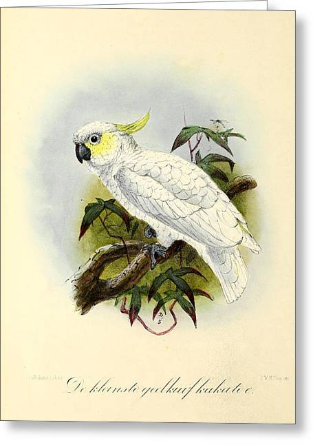 Lesser Cockatoo Greeting Card by J G Keulemans