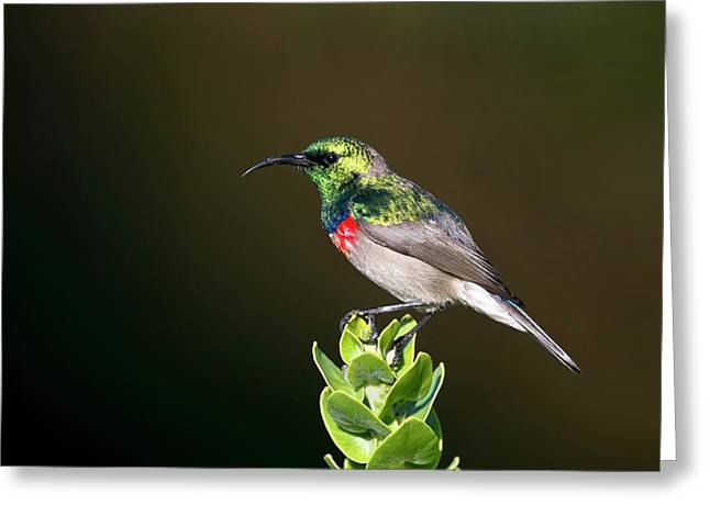 Lesser Double Collared Sunbird Greeting Card by Tony Camacho