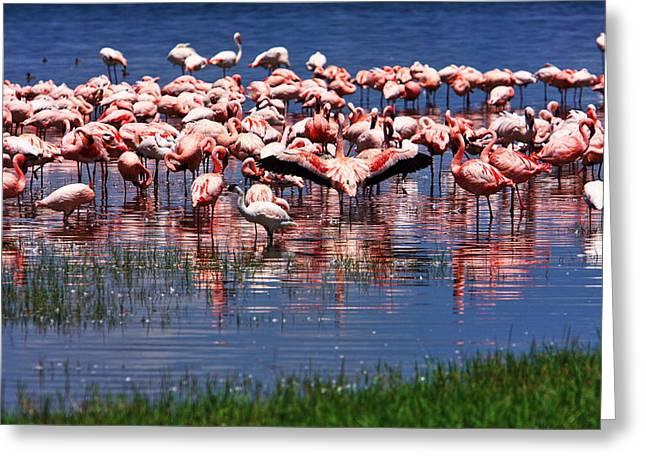 Greater Flamingos Greeting Cards - Lesser Flamingo  Greeting Card by Aidan Moran
