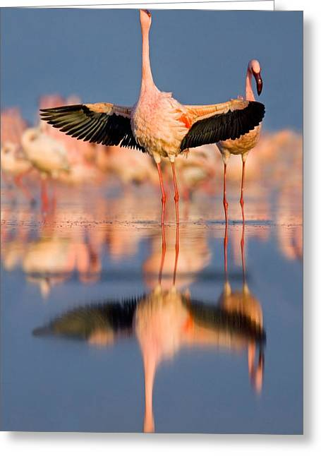 Reflections Of Sky In Water Greeting Cards - Lesser Flamingo Wading In Water, Lake Greeting Card by Panoramic Images