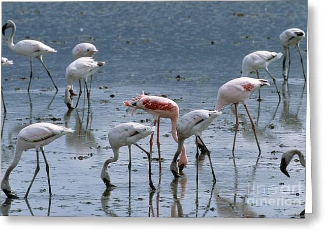 Feeding Birds Greeting Cards - Lesser Flamingoes Feeding Greeting Card by William H. Mullins