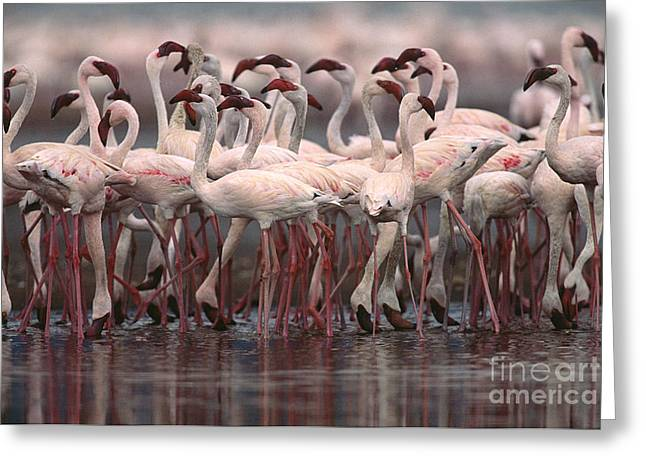 Flamingo Greeting Cards - Lesser Flamingos, Kenya Greeting Card by Art Wolfe