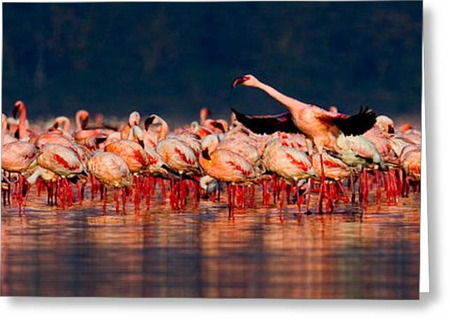 Flocks Of Birds Photographs Greeting Cards - Lesser Flamingos Phoenicopterus Minor Greeting Card by Panoramic Images