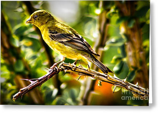 Olive Green Greeting Cards - Lesser Goldfinch Greeting Card by Robert Bales