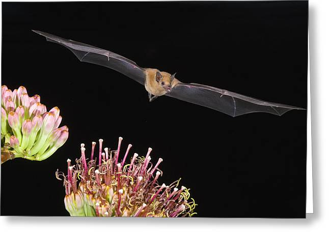 Long Nose Greeting Cards - Lesser Long-nosed Bat Flying Greeting Card by Tom Vezo