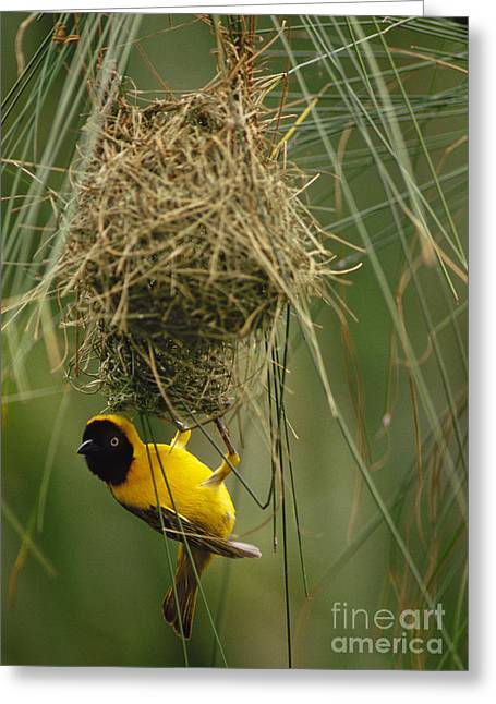 Animal Body Part Greeting Cards - Lesser Masked Weaver Building Nest Greeting Card by Frans Lanting MINT Images