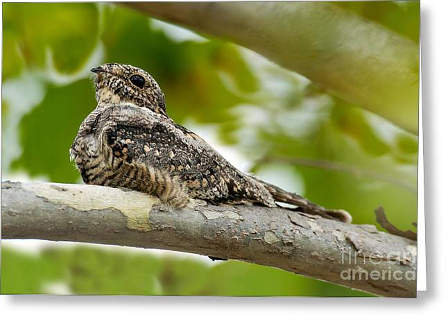 Nightjars Greeting Cards - Lesser Nighthawk On Branch Greeting Card by Anthony Mercieca