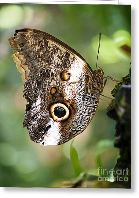 Antenna Greeting Cards - Lesser Owl Butterfly Greeting Card by Juli Scalzi