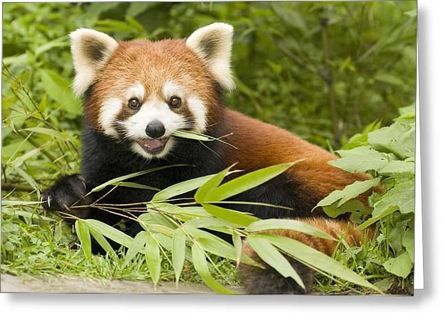 Wolong Nature Reserve Greeting Cards - Lesser Panda Eating Bamboo Wolong China Greeting Card by Katherine Feng