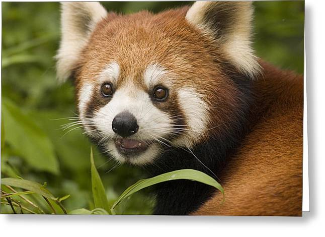 Wolong Nature Reserve Greeting Cards - Lesser Panda  Wolong China Greeting Card by Katherine Feng