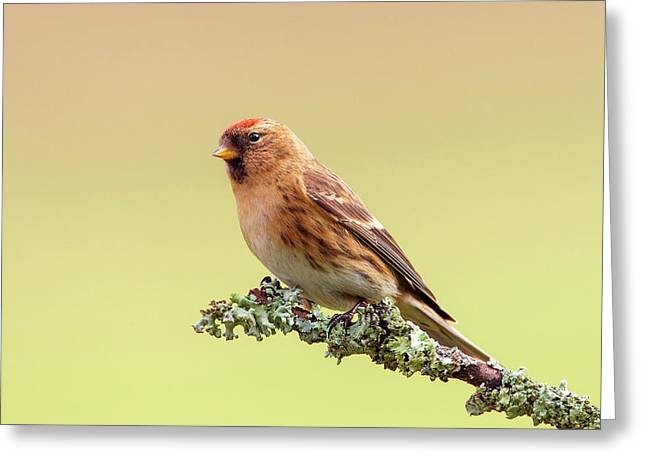 Lesser Redpoll Greeting Card by Simon Booth