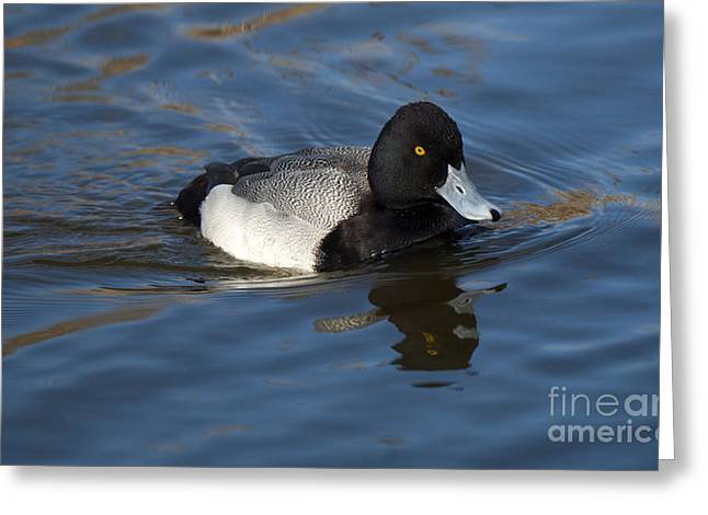 Unlimited Greeting Cards - Lesser Scaup Drake Greeting Card by Bob Christopher