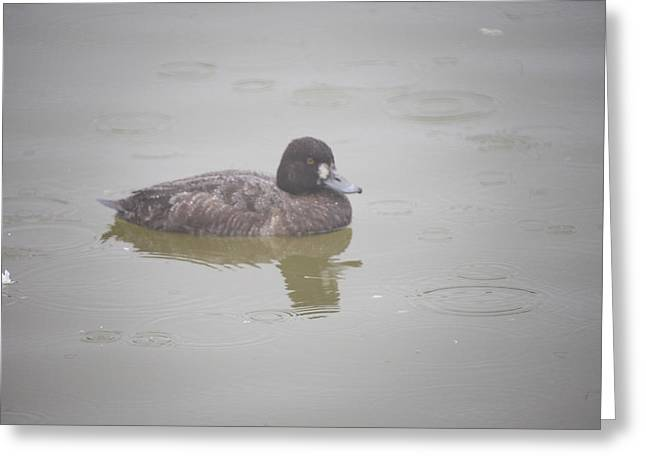 Lesser Scaup Female Greeting Card by Graham Foulkes