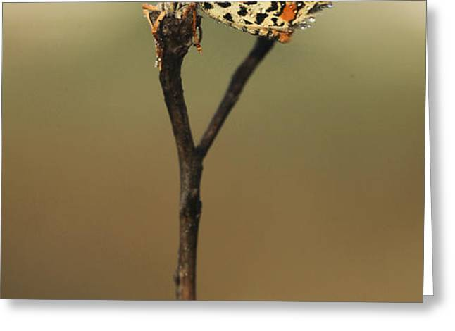 Lesser Spotted Fritillary Greeting Card by Alon Meir