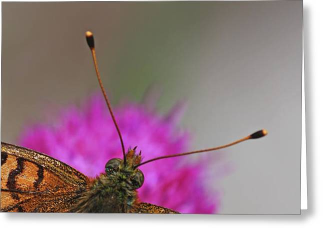 Lesser Spotted Fritillary Greeting Card by Amos Dor