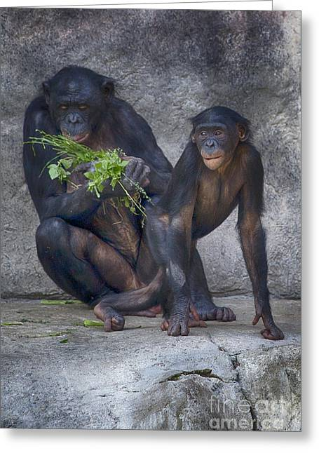 Chimpanzee Photographs Greeting Cards - Lessons from Mom-The Kitchen Greeting Card by Douglas Barnard