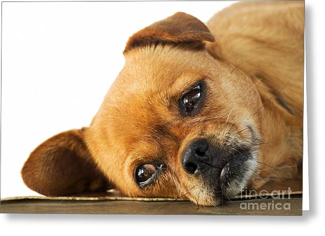 Concern Greeting Cards - Lethargy of Doggy  Greeting Card by Sinisa Botas