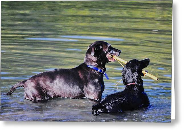Dog With Stick Greeting Cards - Lets Play in the River Greeting Card by Kristina Deane