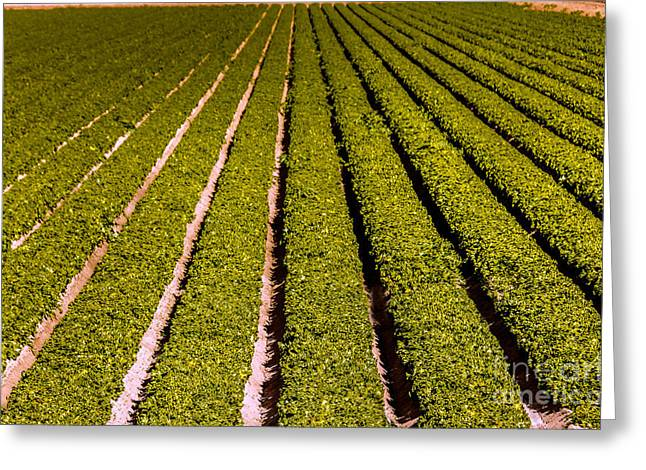 Lettuce Greeting Cards - Lettuce Farming Greeting Card by Robert Bales