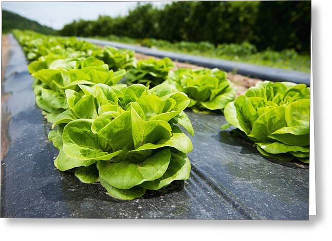 Edwin A Greeting Cards - Lettuce Growing In Rows Biglersville Greeting Card by Remsberg Inc