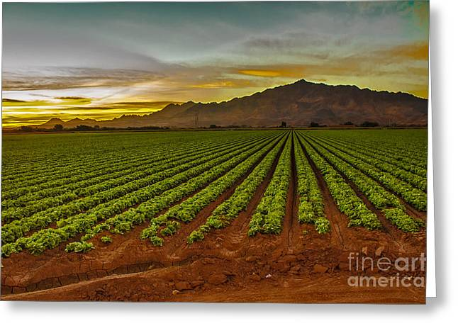 Haybale Greeting Cards - Lettuce Sunrise Greeting Card by Robert Bales
