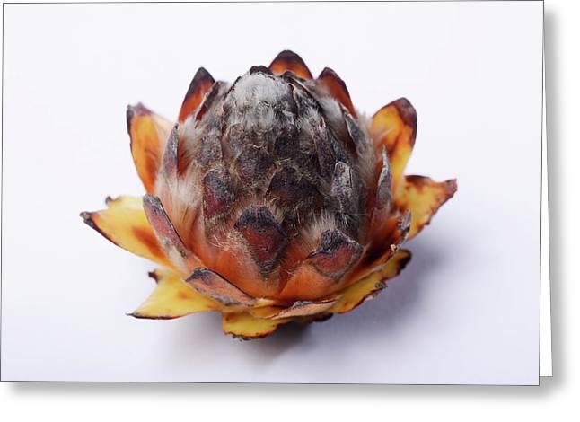Leucadendron Album Opening Seed Head Greeting Card by Cordelia Molloy