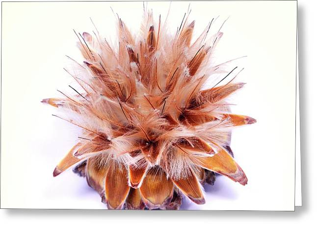 Leucadendron Rubrum Seed Head Greeting Card by Cordelia Molloy