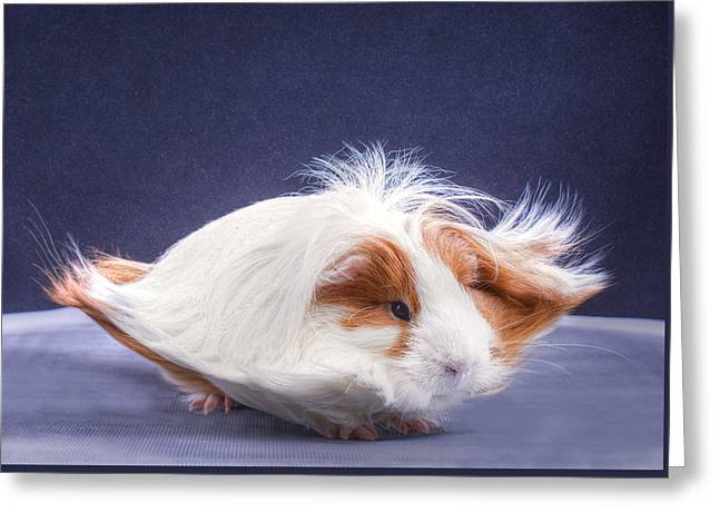 Hairy Pig Greeting Cards - Levitation Guinea Greeting Card by Erin Bonilla