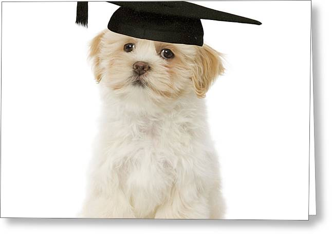Graduated Background Greeting Cards - Lhasa Apso Graduate Greeting Card by Jean-Michel Labat