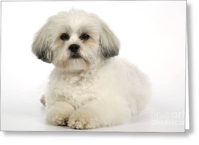 Cut Puppy Greeting Cards - Lhasa Apso Greeting Card by John Daniels