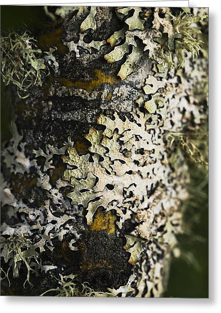 Lichen Image Greeting Cards - Lichen Grows On Trees_ Astoria, Oregon Greeting Card by Robert L. Potts