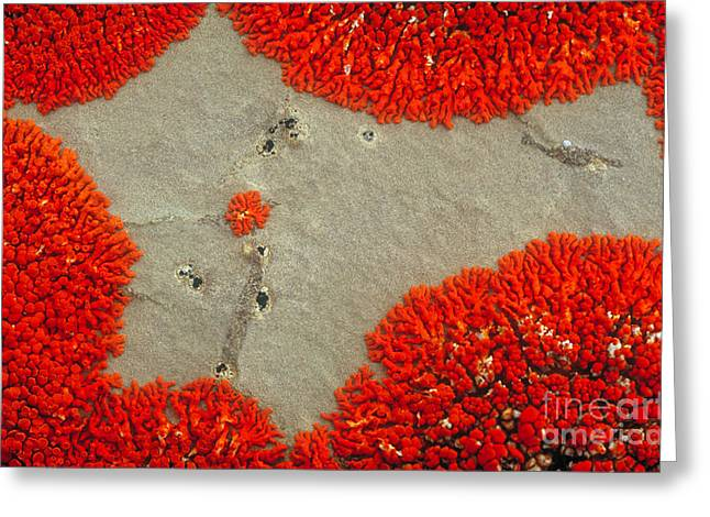 Alga Greeting Cards - Lichen Patterns On Rock Greeting Card by Art Wolfe