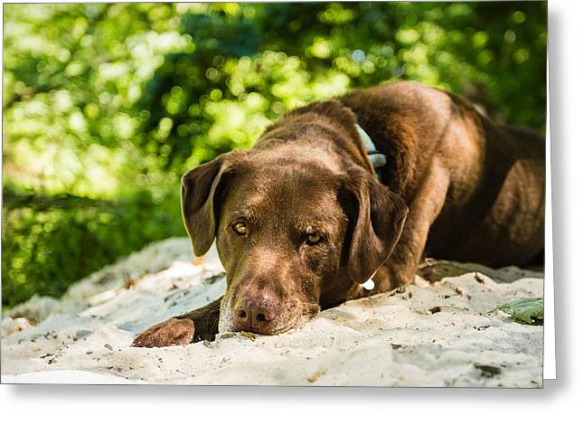 Chocolate Lab Greeting Cards - Life at the Lake Greeting Card by Jonathan Grim