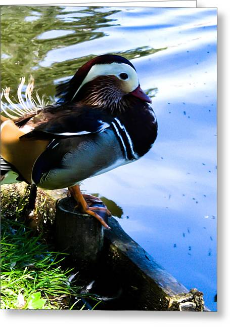 Poland Greeting Cards - Life of Duck I Greeting Card by Nathalie Hope