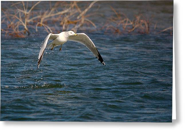 Flying Seagull Greeting Cards - Lift Off From The Water Greeting Card by Roy Williams