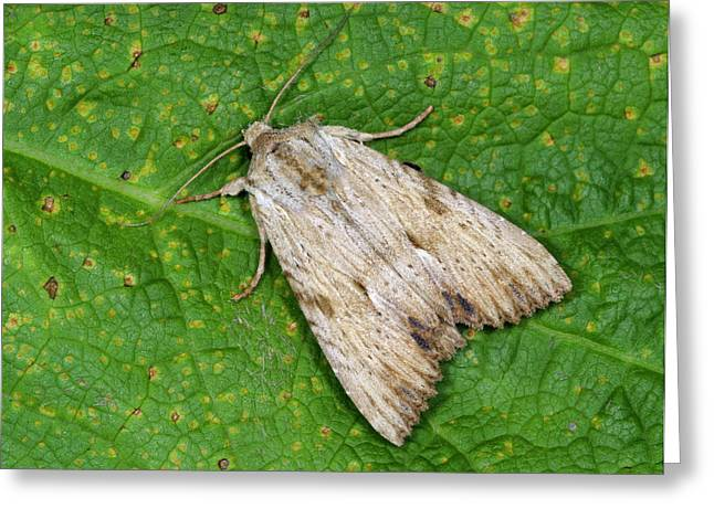 Light Arches Moth Greeting Card by Nigel Downer