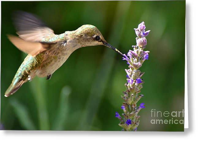 Pollenation Greeting Cards - Light Filters Behind the Hummer Greeting Card by Debby Pueschel