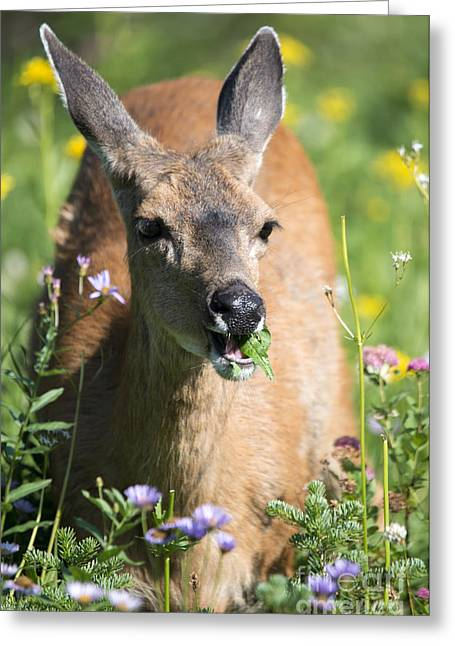 Aster Greeting Cards - Light Lunch Greeting Card by Mike Dawson